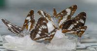 Japan's Honshu white admiral butterflies (Limenitis glorifica)