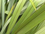 Taeore, Taiore: leaves