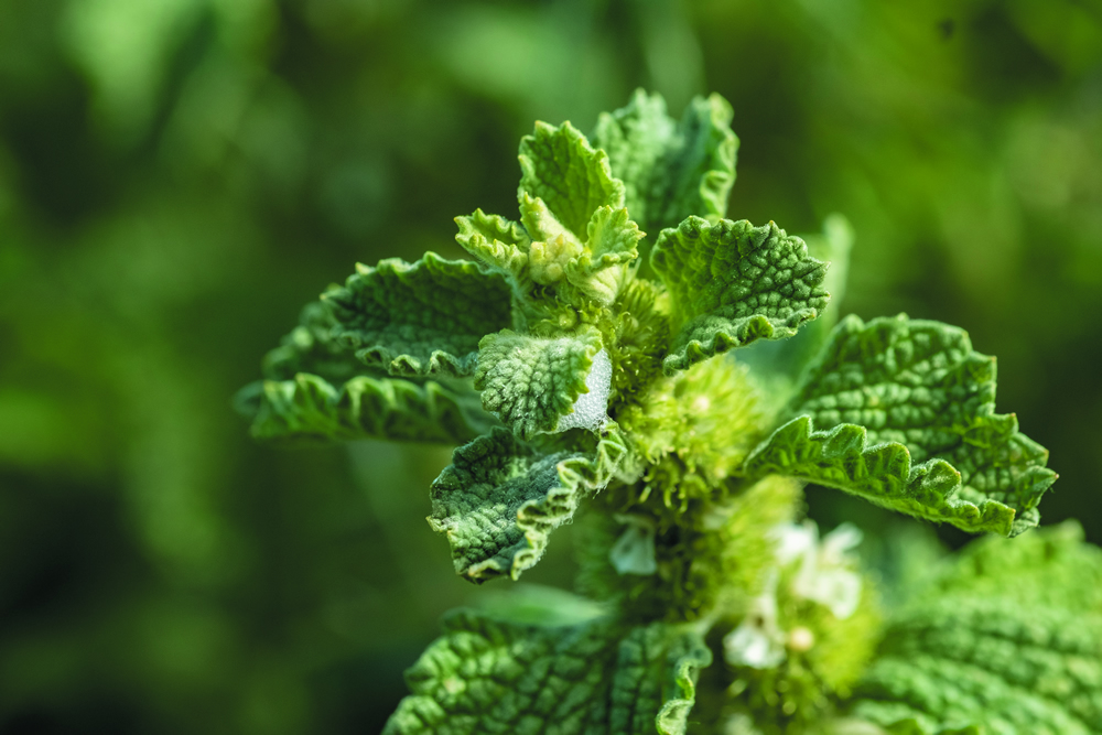 We are now using two moth species in the biological control of the invasive weed horehound.