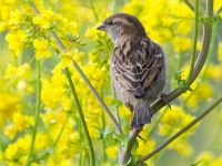 Female house sparrow. Image - A. Walmsley