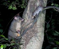 AHB is now targeting both possums and rats with its aerial control operations. Image: Nga Manu Images