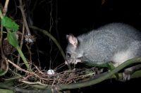 Possum. Image courtesy of Nga Manu Images