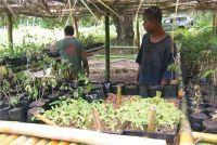 Village plant nursery, Ra province, Fiji.