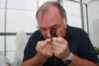 Simon Fowler inspecting the pupal case of a tradescantia leaf beetle.