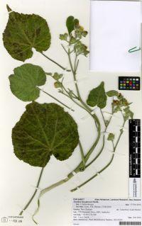Velvetleaf (Abutilon theophrasti)