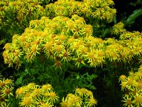 A rare sight: Ragwort in full flourish. The weed has been decimated by the Ragwort flea beetle.