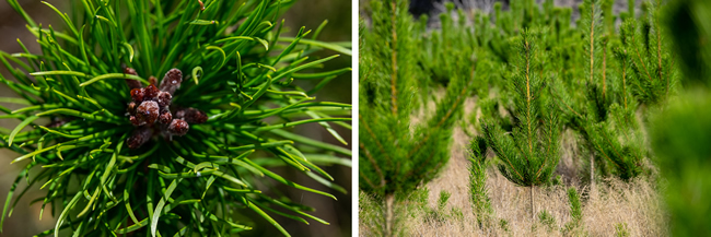 Conifer seed (left) and young wilding pines (right)