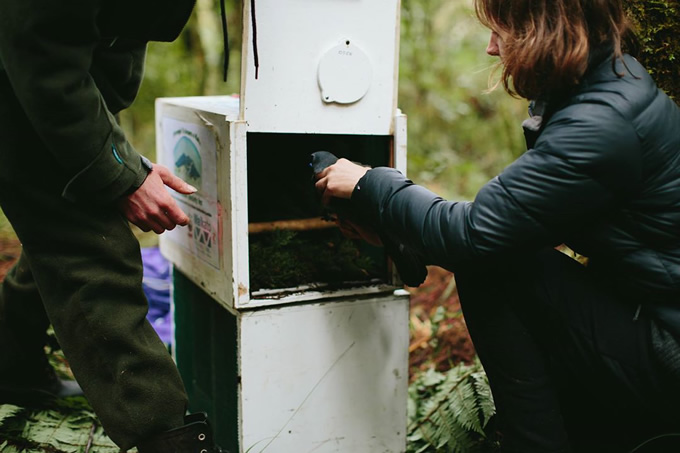 A wild kōkako being carefully placed into a translocation box