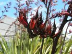 Whareongaonga: flowers and seed pods
