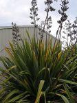 Taumataua: bush with kōrari
