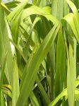 Mawaru: leaves