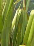 Turingawari: leaves