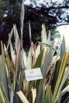 Motu-o-nui: leaves and young kōrari