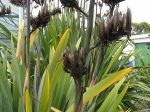Kauhangaroa: seed pods
