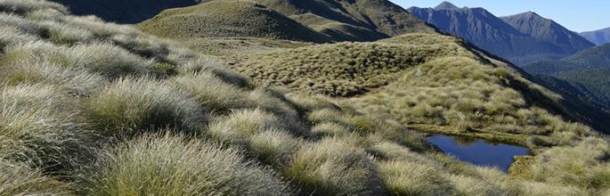 <em>Chionochloa teretifolia</em>, Hunter Mountains, Fiordland. Image – Kerry Ford