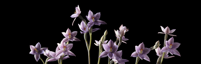 <em>Thelymitra pulchella</em>, the striped sun orchid or maikaika.