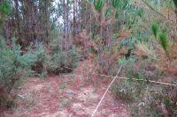 Plot in pine plantation