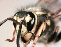 Wasps — voracious predators that cause declines in native biodiversity