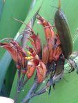 Awahou: flowers and seed pod