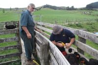 Steve Fagan and his son Philip drenching cattle on their Hangatiki farm, which was once plagued by ragwort before the ragwort flea beetle was released.