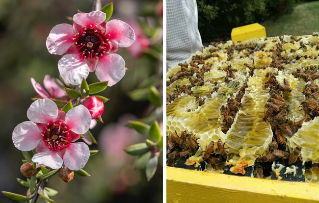 Mānuka in flower (left) and honey combs in a hive (right)