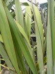 Rangiwaho: leaves