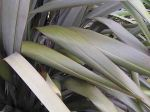 Taniwha: leaves
