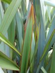 Tangi: young leaf