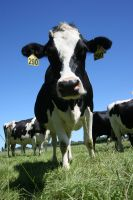 Do dairy farms would have lower soil carbon stocks than adjacent dry stock farms?