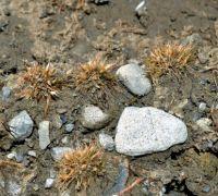 <em>Centrolepis glabra</em>. Image - Kerry Ford