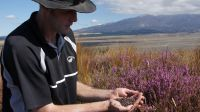 Landcare Research researcher Paul Peterson with a handful of heather beetles, another biocontrol agent that's helping New Zealand beat its weed problem.