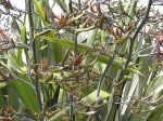 Taniwha: seed pods and flowers