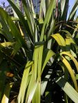 Ngutunui: leaves