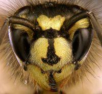 <em>Vespula vulgaris</em>. Image - Tim Evison