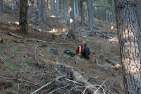 Bird counts in pine forest