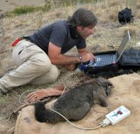 Data being downloaded from a tracking collar on an anaesthetised possum