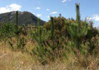 Wilding pines at Craigieburn.