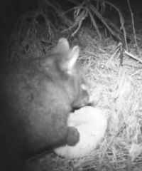 A possum captured eating fungi essential to the growth of wilding pines.