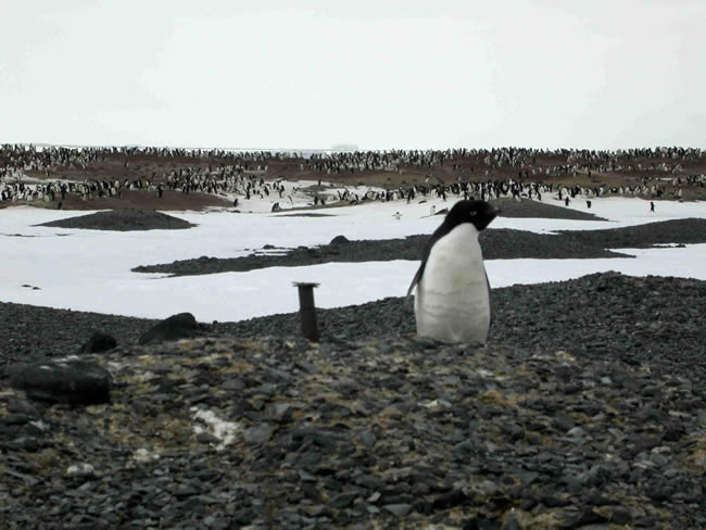 The Adelie penguin colony at Cape Hallett. Penguin influence on the land can be seen as brown colouration between the stones