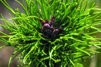 Close-up of wilding conifer