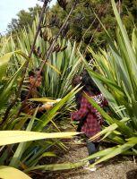 Ākonga harvesting harakeke