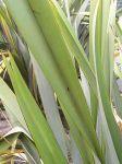 Takaiapu: leaves