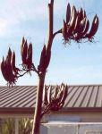 Ruapani: seed pods