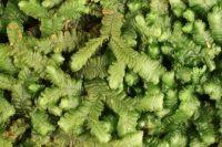 Bazzania aucklandica