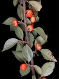 <em>Cotoneaster simonsii</em>