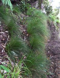 Carex banksiana