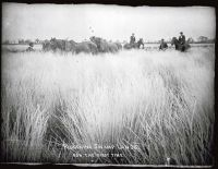 FIGURE 1 Ploughing swamp lands for the first time c1890s (Photo: Palmerston North City Library Archive)
