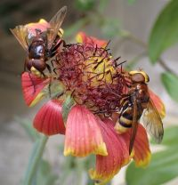 Figure 1. Male (left) and female (right) <em>Volucella zonaria</em> hoverflies feeding on a flower in Manaaki Whenua – Landcare Research's containment facility in Lincoln..