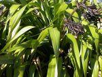 Wharariki: leaves and seed pods