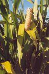 Paoa: leaves